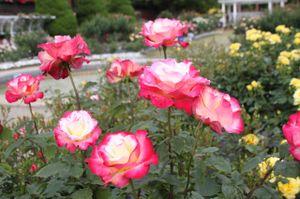 Rose_1342