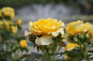 Rose_1357