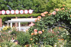 Rose_1370