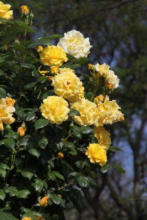 Rose_1373