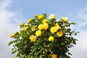 Rose_1390